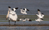 Avocets are going to attack a Mute Swan Halkær Sø Denmark