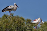 White Stork - Hvid Stork - Ciconia ciconia