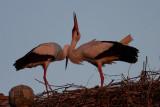 Hvid Stork_IMG_6096_Trujillo Spanien.JPG