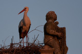 Hvid Stork_IMG_6104_Trujillo Spanien.JPG