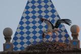 Hvid Stork_IMG_6113_Trujillo Spanien.JPG