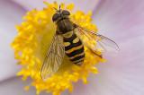 Almindelig Havesvirreflue - Syrphus ribesii