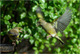 Squabbling Greenfinches