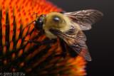 bumblebee 002.jpg