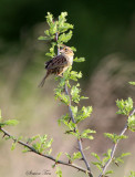 113-Ammodramus-75-Henslows-Sparrow.jpg