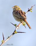 113-Ammodramus-76-Henslows-Sparrow.jpg