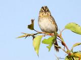 113-Ammodramus-79-Henslows-Sparrow.jpg