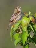 113-Ammodramus-81-Henslows-Sparrow.jpg