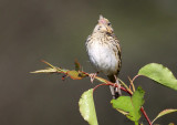 113-Ammodramus-83-Henslows-Sparrow.jpg