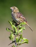 113-Ammodramus-85-Henslows-Sparrow.jpg
