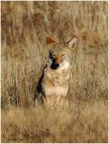 Bosque_121_Coyote.jpg
