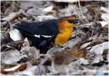 Bosque_125_YHBlackbird.jpg