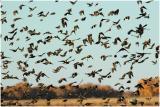 Bosque_139_Blackbirds.jpg