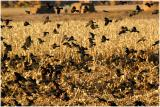 Bosque_141_Blackbirds.jpg