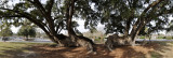 Various Lowcountry Oak trees