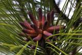 Longleaf pine in bloom