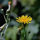 Fleurs des champs - Salsifis des prés?...
