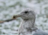 Glaucous-vinged Gull, Gråvingad trut, Larus glaucescens