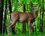 Doe - A Deer, a Female Deer