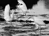 Egrets Dancing