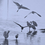 Egrets at Dawn