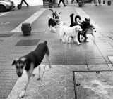 Seven Dogs