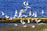 Seagull Explosion