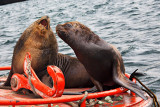 Sea-lions on a Buoy