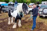 Cob Stallion for Sale