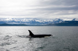 Killer Whales Juneaut0011.jpg
