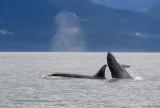 Killer Whales Juneaut0010.jpg