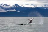 Killer Whales Juneaut0009.jpg