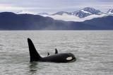 Killer Whales Juneaut0007.jpg