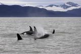 Killer Whales Juneaut0006.jpg