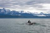Killer Whales Juneaut0003.jpg