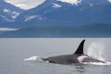 Killer Whales Juneaut0002.jpg
