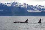 Killer Whales Juneaut0001.jpg