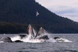 Humpback Whales Juneaut0013.jpg