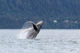 Humpback Whales Juneaut0011.jpg