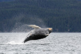 Humpback Whales Juneaut0010.jpg