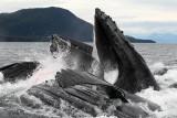 Humpback Whales Juneaut0008.jpg