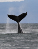 Humpback Whales Juneaut0004.jpg