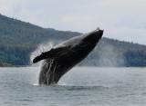 Humpback Whales Juneaut0003.jpg