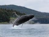 Humpback Whales Juneaut0002.jpg