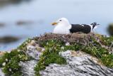Black-backed Seagull 2.jpg