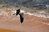 Black-backed Seagull.jpg