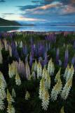 Lupine and Lake Tepako 2.jpg