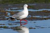Red-billed Gull 5.jpg