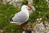 Red-billed Seagull 2.jpg
