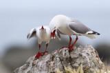Red-billed Seagull 3.jpg